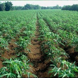 Cassava Farms