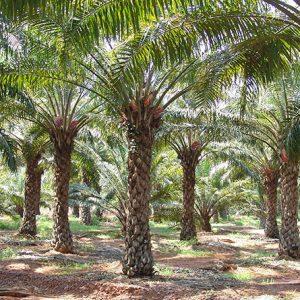 Oil Palm Combo Farms