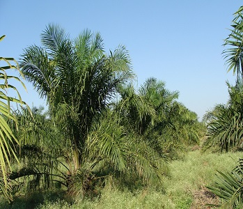 oil palm farms